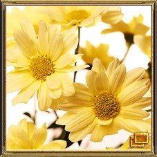 Хризантема - это символ удачи