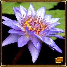 Лотос - символ учения Будды. Растение своими корнями находится в грязи, но его цветок поднят к свету. В фэн шуй - это цветок радости. Священный лотос занимает особенное место в сердцах китайцев, особенно тех, кто практикует буддизм. Его изображают утонченно и величественно парящим над темной водой, в то же самое время символизирующим необыкновенную чистоту среди загрязненного окружения, он открывает свое золотое сердце Солнцу. Это цветок, символизирует лето; цветок, в котором был рожден почитаемый Будда Падмасамбхава. Изображения цветка или непосредственно цветы лотоса в доме используются для создания спокойной, умиротворенной атмосферы, а также для пробуждения духовного сознания. Лотос представляет собой эмблему духовного потенциала, возрождения, чистоты.