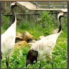 Журавли - символ здоровья и долголетия. Их часто изображают на фоне сосны. Они являются отличным талисманом для зоны Здоровья