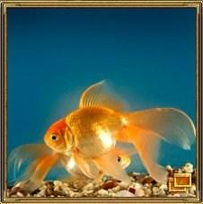 Золотая рыбка олицетворяет успех в финансовых делах