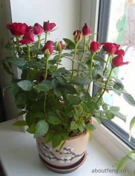 Куст домашней розы - хранитель семьи
