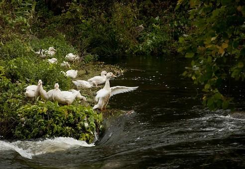 Белое перо дикой птицы