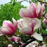 magnoliya