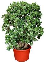 денежное дерево Crassula Ovata