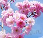 цветок вишни символ фэн-шуй