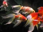 золотая рыбка в фэн-шуй