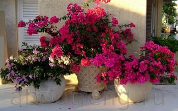 о комнатных цветах