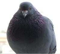Как отвадить голубей от балкона