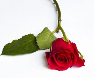 алая роза для обряда