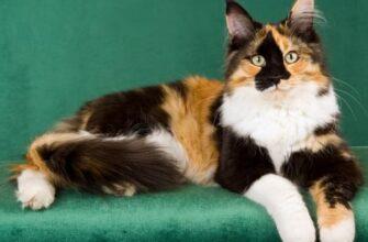 трехцветная кошка к счастью
