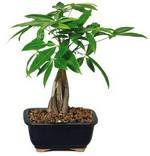денежное дерево Pachira Aquatica