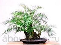 карликовая финиковая пальма