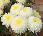 хризантема символ фэн-шуй