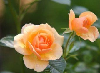 Как сохранить розы зимой
